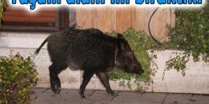 Ormanı yok edilen domuz şehre indi!
