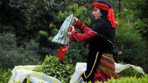 Organik yaş çay destek primleri ödendi