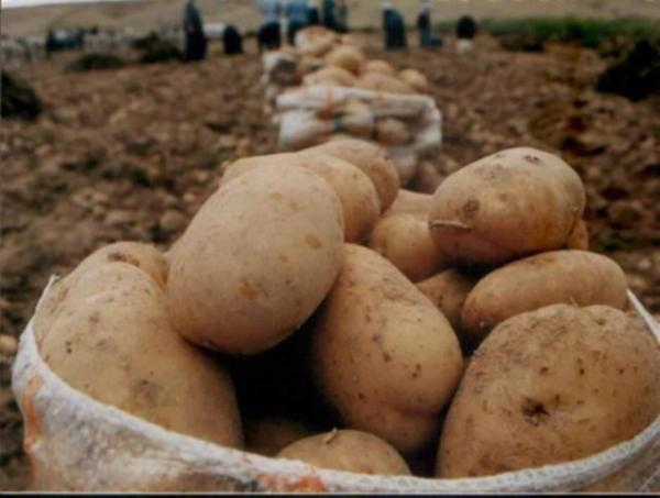 Patatesin kilosu 5 liraya dayandı, ithalat gündemde