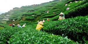 Çay üreticisinden tepki