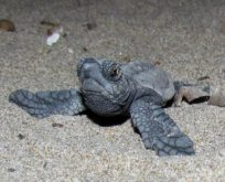 Yavru caretta carettaların denizle buluşması tamamlandı